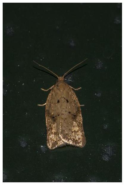 foto's, Lichte boogbladroller (Acleris ferrugana), nachtvlinder