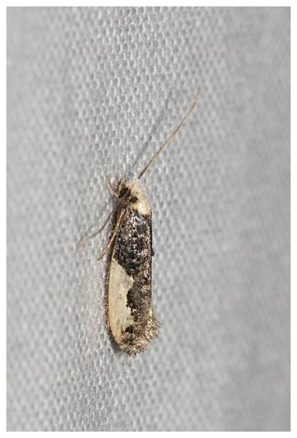 foto's, Zustermot (Monopis monachella), vlinder