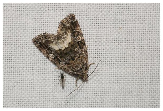 foto's, Donkere marmeruil (Deltote pygarga), vlinder