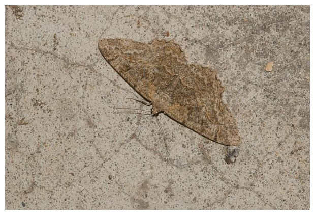 foto's, Variabele spikkelspanner (Alcis repandata), nachtvlinder