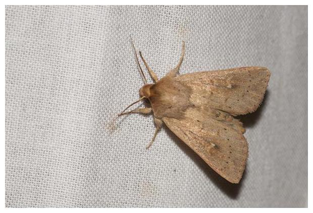 foto´s, Gekraagde grasuil (Mythimna ferrago), nachtvlinder