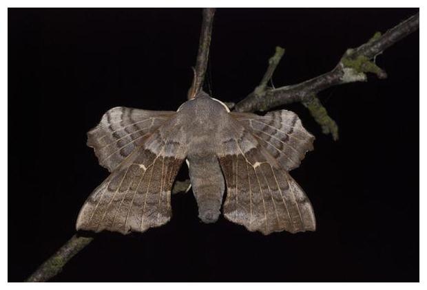 foto, Populierenpijlstaart (Laothoe populi), nachtvlinder