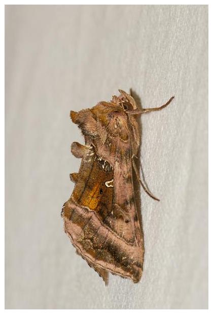 foto's, Jota-uil (Autographa jota), vlinder