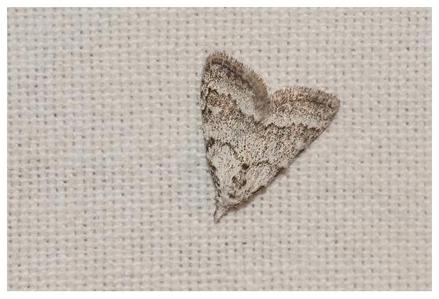 foto´s, Licht visstaartje (Nola aerugula), nachtvlinder
