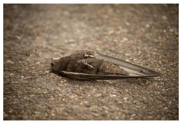 foto´s, Gierzwaluw (Apus apus), dode zwaluw