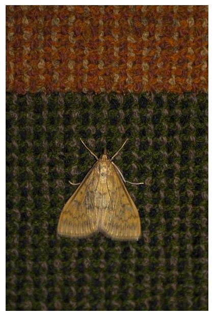 foto´s, Maïsboorder (Ostrinia nubilalis), Europese mais(stengel)boorder, nachtvlinder