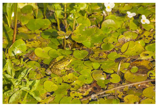 foto´s, Kikkerbeet (Hydrocharis morsus-ranae), waterplant