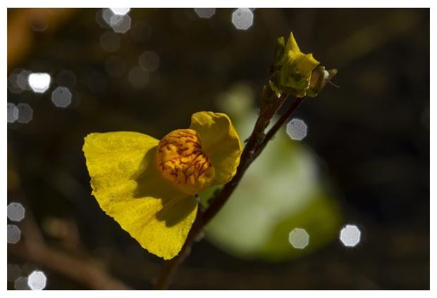 foto's, Loos blaasjeskruid (Utricularia australis), waterplant