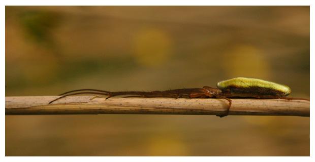 gewone strekspin (etragnatha extensa)