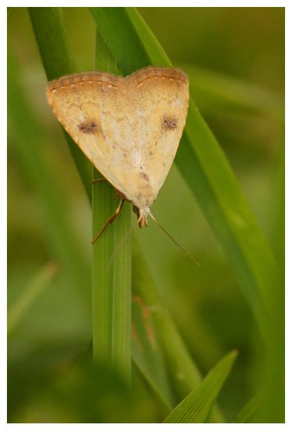 foto's, Stro-uiltje (Rivula sericealis), nachtvlinder