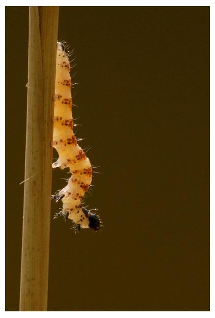 foto's, Egale rietboorder (Arenostola phragmitidis), rups