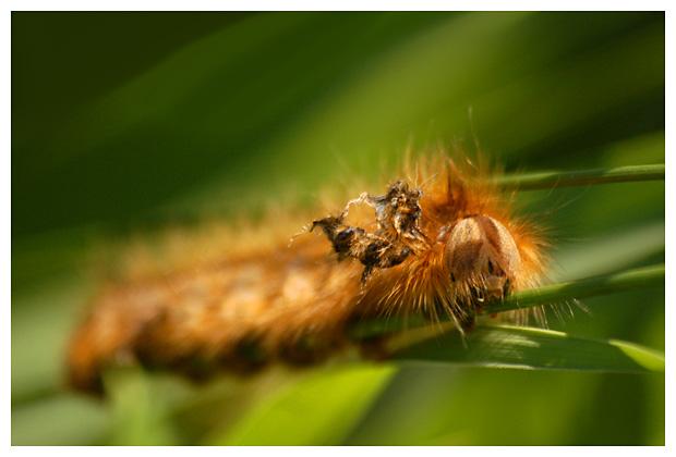 rietvink (Euthrix potatoria), rietvinken, rietvinkje, rietvinkjes, rups, rupsen, rupsje, rupsjes, rupsfoto´s, rupsenfoto´s, nachtvlinder, nachtvlinders, vlinder, vlinders