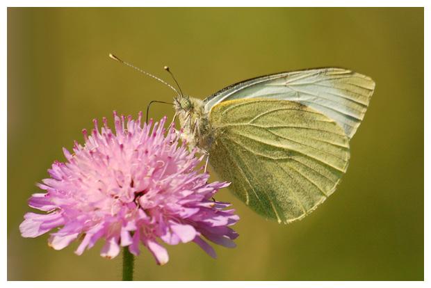 fot's, Klein koolwitje (Pieris rapae), vlinder