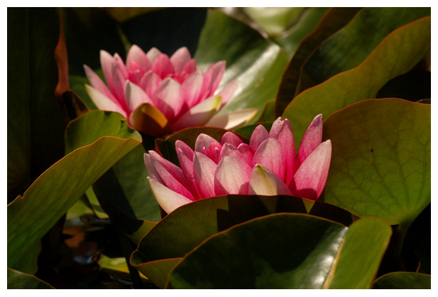 foto's, Roze waterlelie (Nymphaea),waterplant