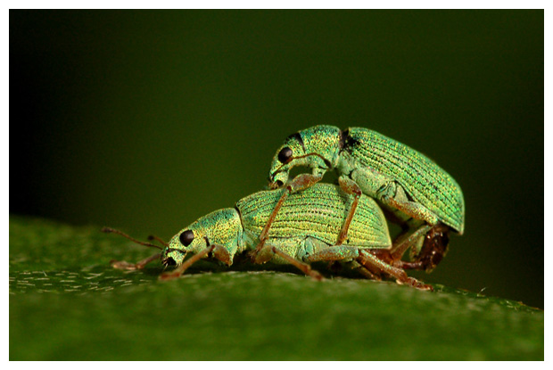 foto's, Groene struiksnuittor (Polydrusus sericeus), kever