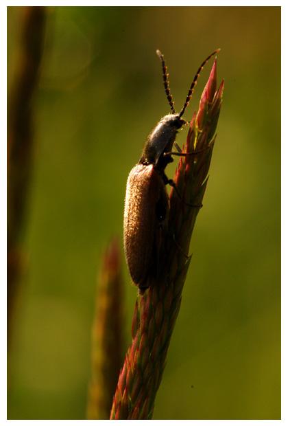 roodaarskniptor (athous haemorrhoidales), kniptor, kniptorren