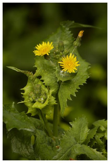 gekroesde melkdistel (sonchus asper), (asterales), composietenfamilie (asteraceae), gele lintbloemen, eenjarig