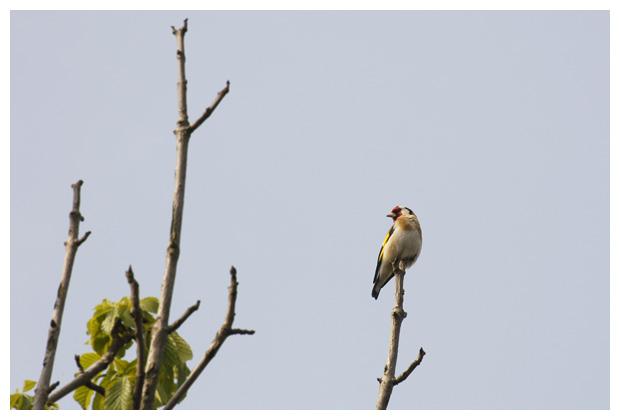foto's, Putter of distelvink (Carduelis carduelis),vogel