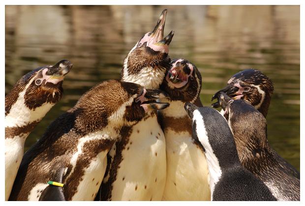 foto's, Humboldt-pinguïn (Spheniscus humboldti), vogel