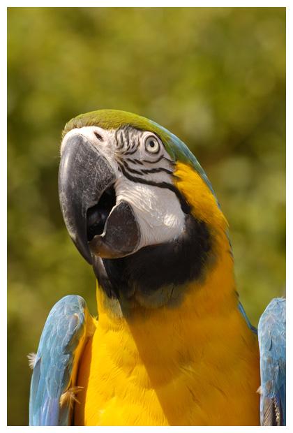 foto's, Blauwgele ara (Ara ararauna), vogel