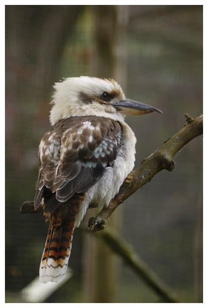 foto's, Gewone kookaburra (Dacelo novaeguineae), vogel