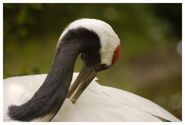 foto's, Chinese kraanvogel (Grus japonensis), vogel