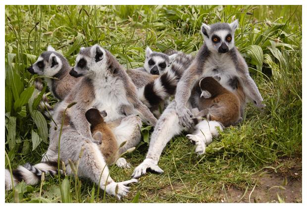 foto´s, Ringstaartmaki (Lemur catta), dier