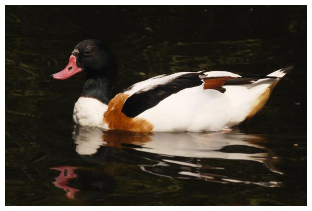 foto's, Bergeend (Tadorna tadorna), vogel