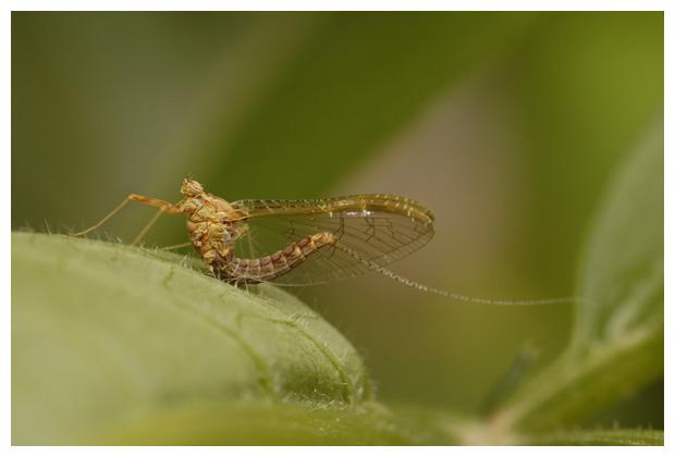 foto's Eendagsvlieg, haft (Cloeon dipterum)