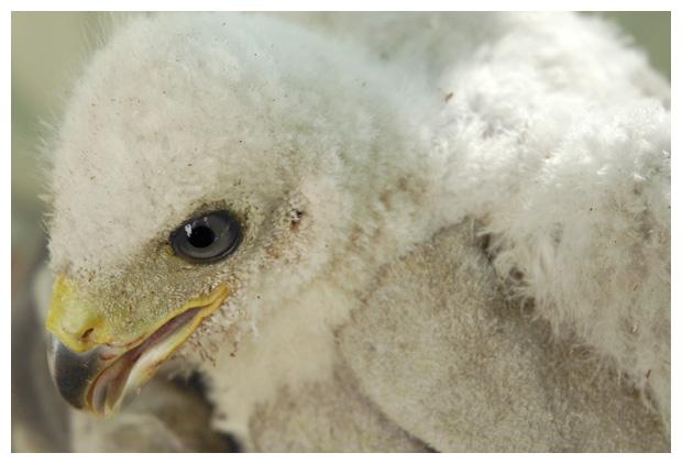 foto's, Havik (Accipiter gentilis), vogel