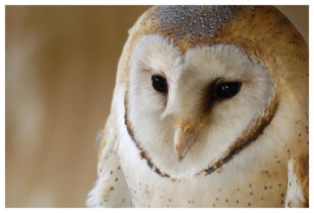 foto's, Kerkuil (Tyto alba), vogel