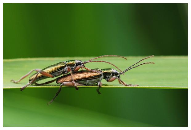 foto's, Egelskophaantje (Donacia vulgaris)