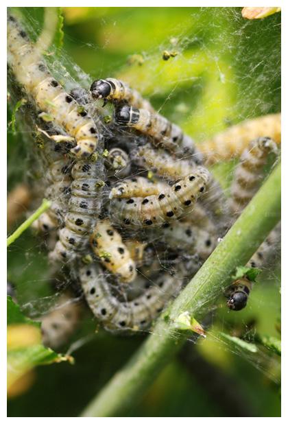foto's, Meidoornstippelmot (Yponomeuta padella), rups