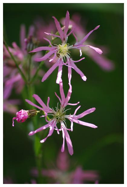 foto´s, Echte koekoeksbloem (Silene flos-cuculi, syn. lychnis flos-cuculi)