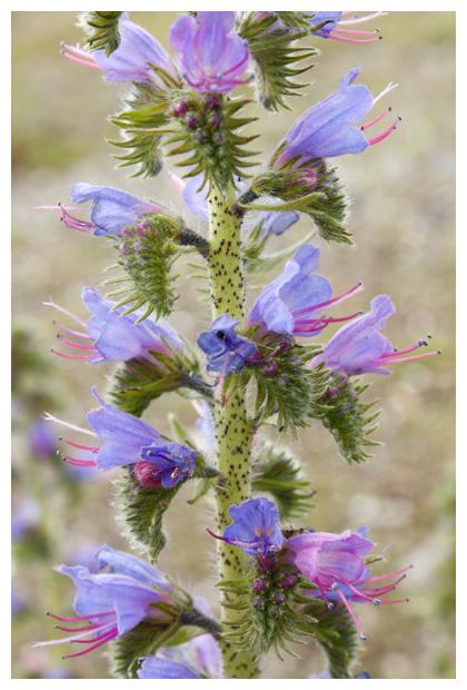 foto's, Slangenkruid (Echium vulgare), plant