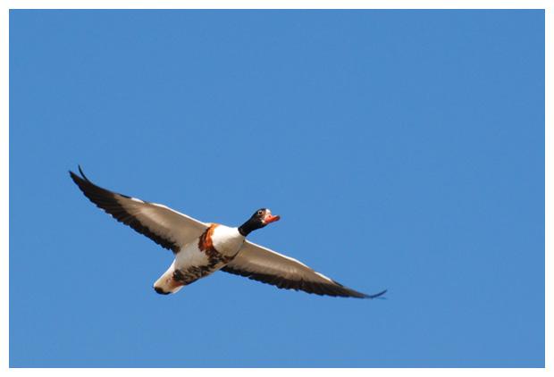 foto´s, Bergeend (Tadorna tadorna), vogel