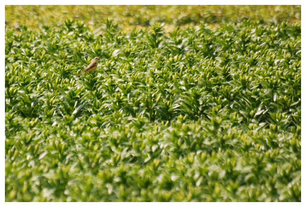 foto's, Gele kwikstaart (Motacilla flava), vogel