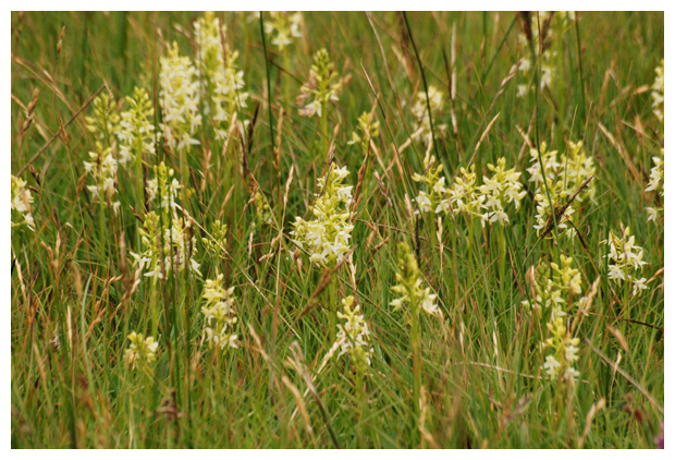 foto's, Welriekende nachtorchis (Platanthera bifolia)