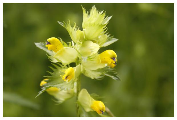foto's, Grote ratelaar (Rhinanthus angustifolius), plant