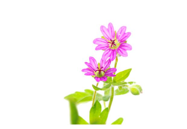 foto´s, Zachte ooievaarsbek (Geranium molle), plant