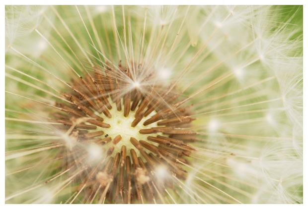 foto's, Paardenbloem (Taraxacum officinalis), plant