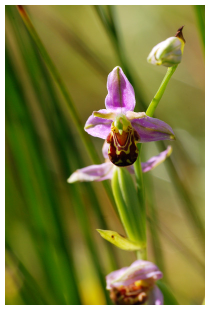 foto´s, Bijenorchis (Ophrys apifera), orchis