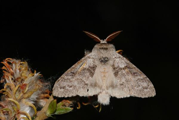 foto's, Meriansborstel (Calliteara pudibunda), nachtvlinder