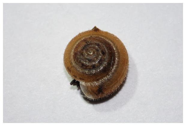 foto's, Gewone haarslak (Trochulus hispidus), slak