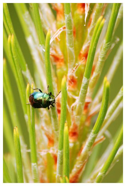 foto's, Blauwe schildwants (Zicrona caerulea), wants
