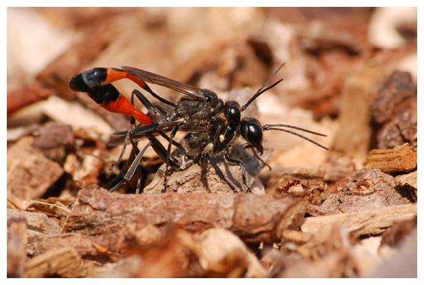 foto´s, Grote rupsendoder (Ammophila sabulosa)