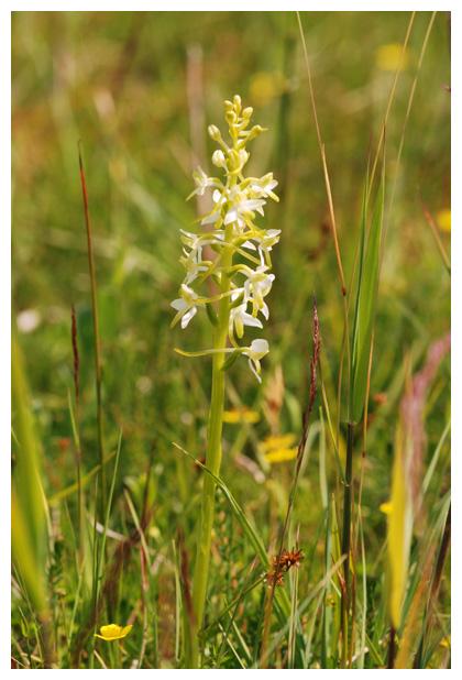 foto's, Welriekende nachtorchis (Platanthera bifolia), orchidee