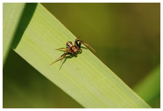 foto's, Moeraskrabspin (Xysticus ulmi), spin
