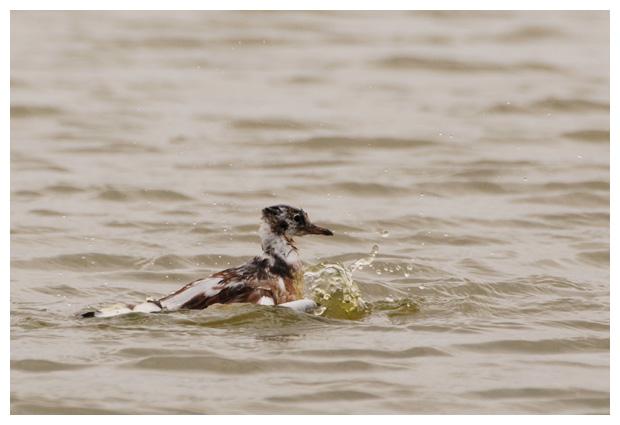 foto's, Kokmeeuw (Larus ridibundus), meeuw