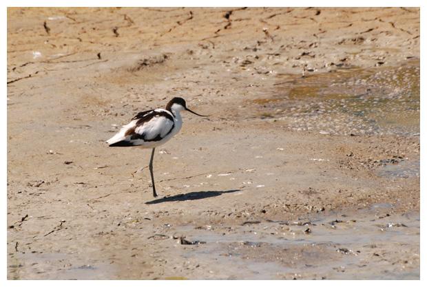 foto´s, Kluut (Recurvirostra avosetta), vogel
